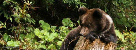 Bear watching - Aventura pe urmele ursilor