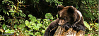 Bear watching - Aventura pe urmele ursilor